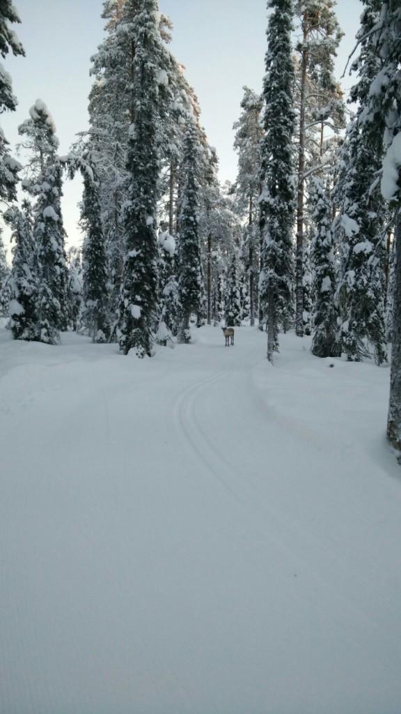 Ylläksen lumisilla laduilla törmäsi useaan otteeseen porokavereihin.